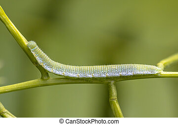 Caterpillar of Orange tip