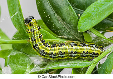Caterpillar of the box tree moth (Cydalima perspectalis)