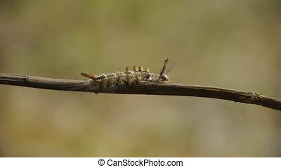 caterpillar on branches.