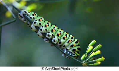 Caterpillar. - The caterpillar on a branch of fennel.