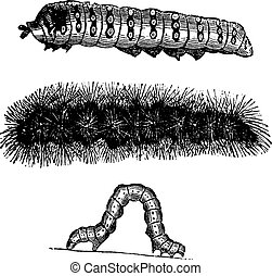 Caterpillar vintage engraving - Caterpillar, vintage...