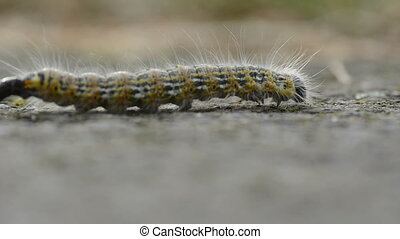 Caterpillar walking through the frame and defecating