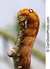 Caterpillar with big fake eyes feeding on small tree branch.