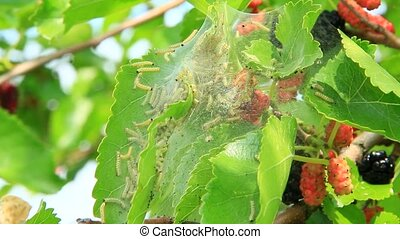 Caterpillars eat leaves of mulberry. Branch with ripe...