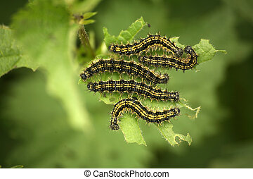Caterpillars from Small Tortoiseshell