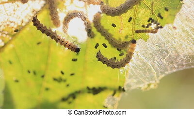 caterpillars in the dawn eat leaves of a tree, insects, invasion
