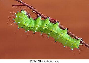 Caterpillar(Saturnia puri)