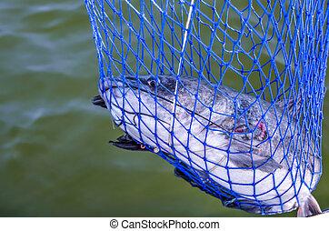 Catfish caught in fisherman's net