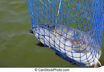 Catfish caught in net