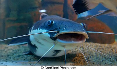 Catfish in the ocean aquarium. Fish from ocean in the...
