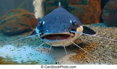 Catfish in the ocean aquarium. Fish from the ocean in the...