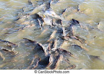 Catfish in the river.