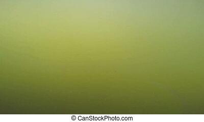 Catfish Underwater - catfish swimming underwater in pond