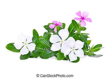 catharanthus roseus flower with green leaves isolated on white background