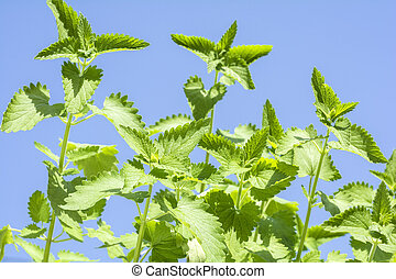 Catnip plants sway in the wind under blue sky