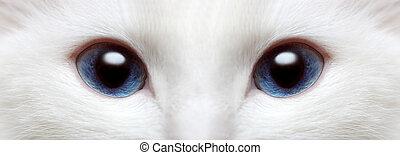 cat\'s, blaues, weißes, augenpaar