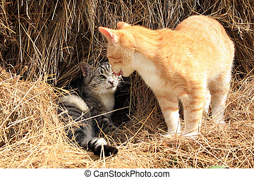 Cats - Ginger and grey little cats playing on hay