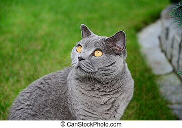 Cats life - british blue - Photo of british shorthair cat,...