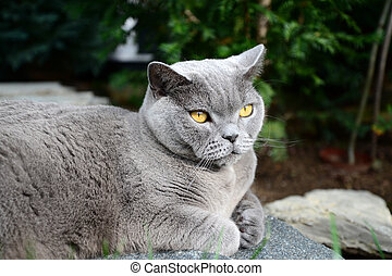 Cats life - british shorthair