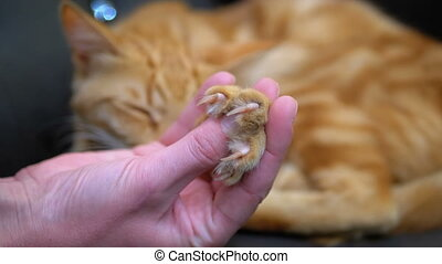 Cat's Paw Releases Claws in the Hand of a Girl Playing with a Egyptian Red Cat. Slow Motion