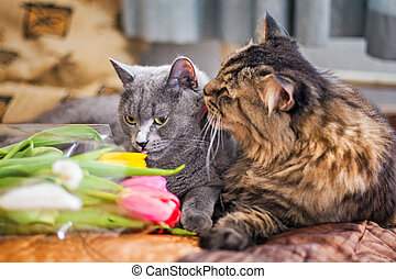 Cats sleep together on a blanket. Gray Scottish kitty and adult cat. Pet. Cat hugs cat gently and hugs. Nice fur. Muzzle large cats. Cat loves kitty