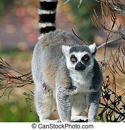 catta), lémur, llame tailed, (lemur