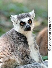 catta lemur, (maki), de, madagascar