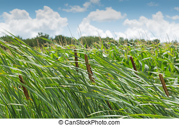 Cattail on a windy day
