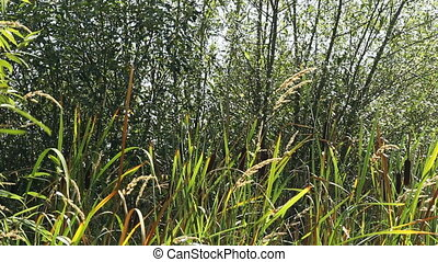 Cattails Blowing in the Breeze - Wild cattails or bullrush...