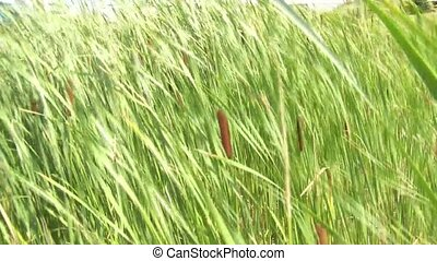 Cattails Blowing in Wind