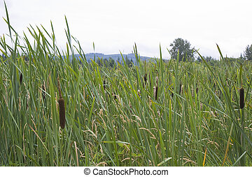 Cattails in Marsh