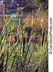 Cattails in afternoon sun