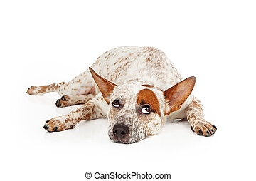 Catte Dog Mixed Breed Rolling Eyes - Queensland Heeler mixed...