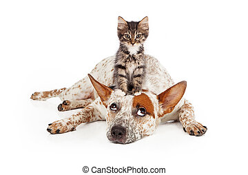 Catte Dog With Kitten on His Head - A patient Queensland...
