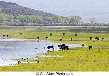 A herd of cattle grazing at Topaz Lake, Nevada