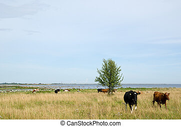 Cattle at coast
