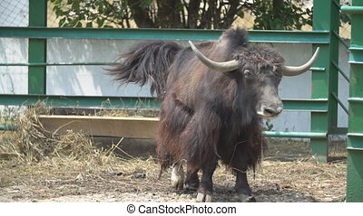 yak cattle stands on a pasture