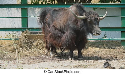 cattle breed Yak - yak cattle stands on a pasture