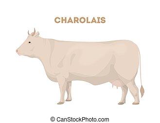cattle., charolais, aislado
