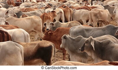 Cattle Cow Livestock in Sale Yard Pens - Pan - This is a...