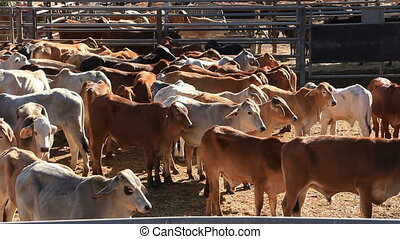 Cattle Cows in Sale Yard Pens - This is a clips of the...