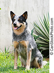 Cattle Dog Blue - A blue australian cattle dog at sit and...