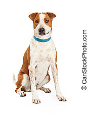 Cattle Dog Cross Blue Collar