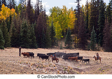 Cattle Drive - Cattle drive by two cowboys in Colorado.