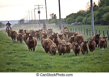 Cattle Drive Saskatchewan Canada horses and cows