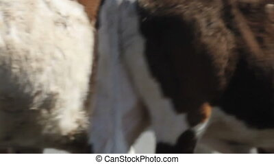 Cattle Drive Seamless Loop - This is a close up shot of a...