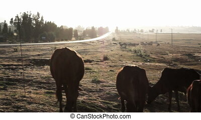 Cattle eating green grass in africa during sunset