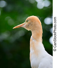Cattle Egret (Bubulcus ibis) bird looking up with green...