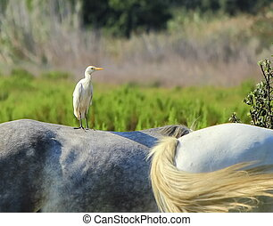 Cattle egret, Bubulcus ibis, standing on a horse, Camargue, Fran