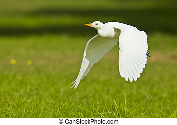 Cattle egret coming into land